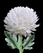 stock photo of chrysanthemum  - White chrysanthemum flower isolated on black background - JPG
