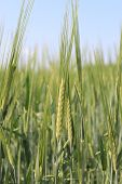 image of siberia  - Wheat cereal closeup growing in a field in Siberia - JPG