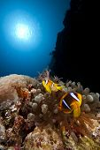 stock photo of clown fish  - anemone fish aka clown fish in red sea - JPG