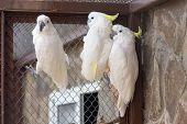 stock photo of cockatoos  - Three Sulphur - JPG