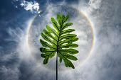image of halo  - leaf in sun halo background on summer - JPG