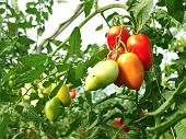 stock photo of oblong  - Bunch of oblong red ripening tomatoes in the greenhouse - JPG