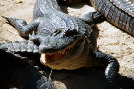 pic of gator  - An american alligator is facing the viewer with it - JPG