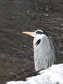 picture of sleet  - gray heron Japanese soaked sleet and snow in the winter in Japan - JPG