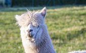 foto of alpaca  - alpaca portrait at green meadow in the zoo - JPG
