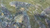 stock photo of fish pond  - image of feeding many of wild carp fish in pond - JPG
