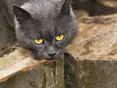 picture of sorrow  - Mature sorrowful gray cat with sad eyes outdoors on the large hornbeam logs