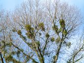 image of mistletoe  - green mistletoe under blue sky at large tree - JPG