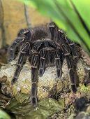 pic of creepy crawlies  - Big hairy tarantula sitting on a small rock - JPG