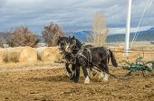 pic of harness  - Shire horses harnessed to an antique plow which is being used to farm a small plot of land - JPG