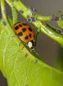 image of aphid  - Ladybug attacking aphids on the endangered plant