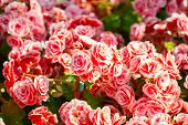 foto of begonias  - Beautiful background of flowers big begonias in the garden - JPG