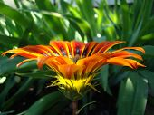 stock photo of drought  - gazaniasolar flower drought resistant plant that will decorate any flower bed  - JPG