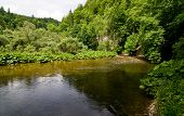 foto of butterbur  - calm river in the Black Forest between trees and butterbur - JPG