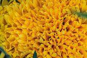 stock photo of marigold  - Marigold  flowers field - JPG