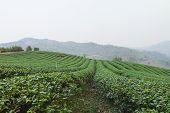picture of debonair  - The tea farm at Mae Salong Chaingmai Thailand - JPG
