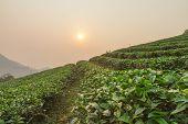 pic of debonair  - The tea farm at Mae Salong Chaingmai Thailand - JPG
