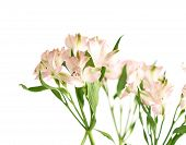 image of fragmentation  - Bouquet of alstroemeria flowers isolated over the white background - JPG