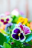 picture of flower pot  - Pansy flower in a flower pot Purple and yellow flowers in pots. ** Note: Shallow depth of field - JPG