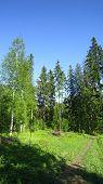 stock photo of fir  - Standard forest view - JPG