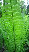 image of fern  - Green fern young frond  - JPG