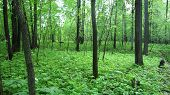 stock photo of linden-tree  - Thicket of mixed maple - JPG