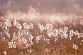 picture of spiderwebs  - cottograss and spiderweb in misty morning sunlight - JPG