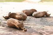 pic of rhino  - Four rhinos laying on floor near lake - JPG