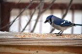 foto of blue jay  - Blue Jay (Cyanocitta cristata) at a backyard feeding station on a cold winter day