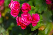 picture of begonias  - Pink begonia or fibrous flower with bokeh - JPG