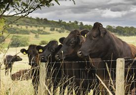 stock photo of cattle breeding  - A herd of cows in a field right up against the barbed - JPG