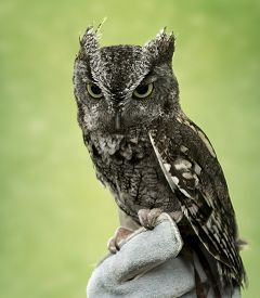 picture of screech-owl  - Eastern Screech Owl are found wherever trees are and they