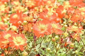 picture of cosmos flowers  - Blur short of cosmos flowers, Blooming orange cosmos flowers ** Note: Soft Focus at 100%, best at smaller sizes - JPG