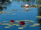 picture of water lily  - Water lilies floating in the garden reminding one of Monet