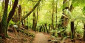 Panorama of path through a cool temperate rainforest, with treeferns and ancient myrtle beech trees.