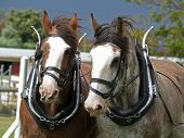 stock photo of clydesdale  - Two Clydsedales harnessed for the sled pulling competition - JPG