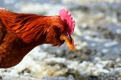 picture of banty  - Banty Rooster Feeding On Peaches Red Rooster - JPG