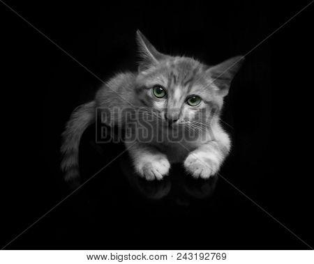 poster of Big Cat, Beautiful Cat, Purebred Cat, Fluffy Cat, Proud Cat, Gray Cat - Big British Shorthair Cat Po