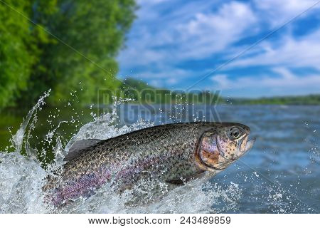 poster of Fishing. Rainbow Trout Fish Jumping With Splashing In Water