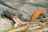 Little Funny Fluffy Red Squirrel Peeking Out Wooden Log In Forest On Bright Sunny Day. Curious Cute  poster