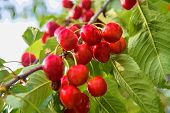 Cherry Tree With Ripe Cherries. Cherries Hanging On A Cherry Tree Branch poster