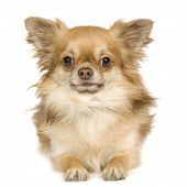 stock photo of epagneul  - Papillon in front of a white background - JPG