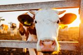 Close-up Of White And Brown Cow On Farm Yard At Sunset. Cattle Walking Outdoors In Summer Countrysid poster