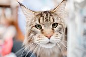 Maine Coon Cat At Exhibition Of Animals In Hands poster
