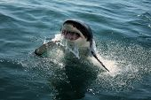 stock photo of great white shark  - Great white shark breaking the surface in South Africa - JPG