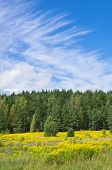 foto of goldenrod  - Blooming goldenrod at the foot of the forest - JPG