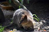 foto of quokka  - the quokka is a marsupial found in Australia - JPG