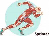 Vector Illustration Of Sprinter Muscle Anatomy Graphic poster