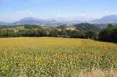 stock photo of hughes  - Southern French Sunflower High in the province - JPG
