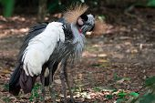 A Grey Crowned Crane, Also Known As The African Crowned Crane, Golden Crested Crane, Golden Crowned  poster